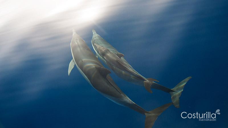 avistamiento de cetáceos en canarias, Delfines Comunes con cría